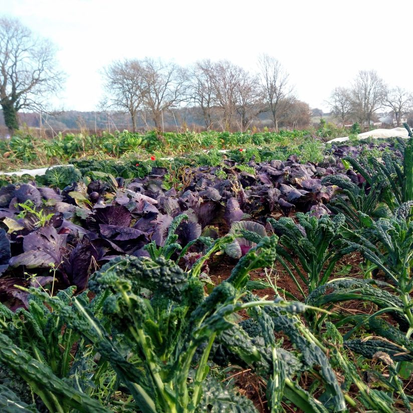 cabbages and kale